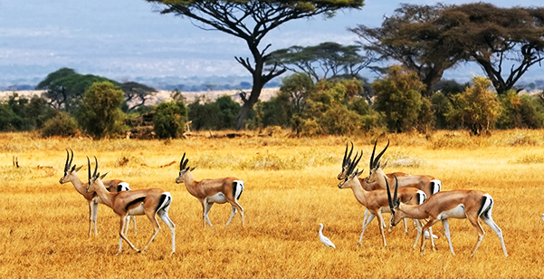 Amboseli National Park - Deers