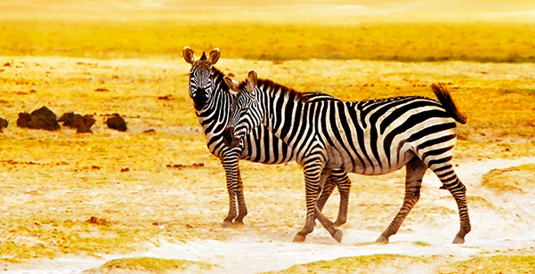Amboseli National Park - Zebras