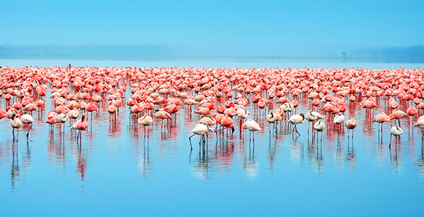 Lake Nakuru - Pink Flamingos