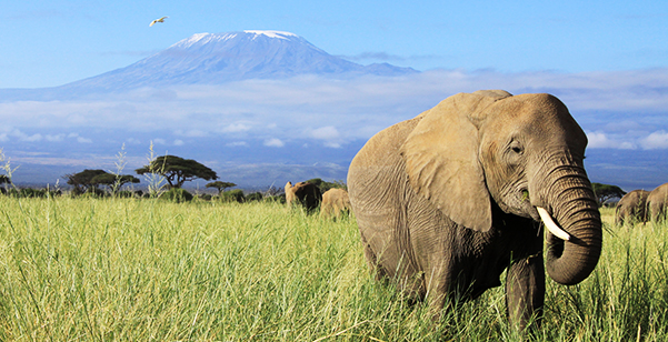 Mt. Kilimanjaro - Elephants
